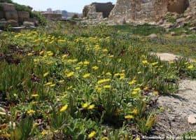 Nucleo di piante di Calendula maritima circondata dal fico degli ottentotti (Carpobrotus edulis) all'interno della Tonnara di San Giuliano