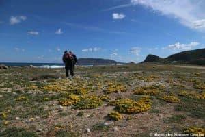 Cuscinetti di Asterisco marittimo (Pallenis maritima) presso Calazza, Isola di Favignana