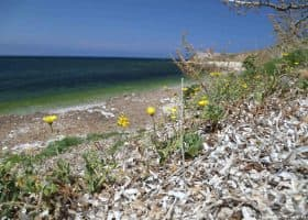 Piante di Calendula maritima su residui di Posidonia oceanica