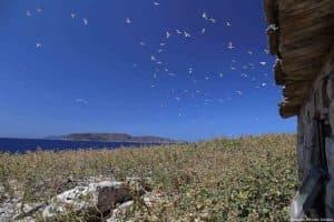 Colonia di gabbiani presso l'isolotto di Maraone