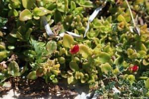 Aptenia cordifolia in fiore