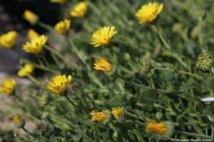 Infiorescenze di Calendula maritima in varie fasi di fioritura