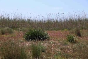 Vegetazione retrodunale nella Riserva della Foce del Fiume Belice