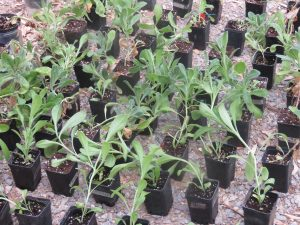 Giovani plantule in fase di acclimatazione in ombraio
